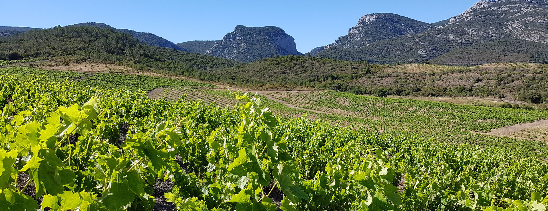 View of a vineyard in Languedoc-Roussillon